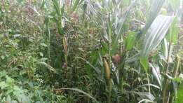 Silage for sale