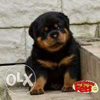 Box headed rottweilers ready for a new home...75k.. Contact now