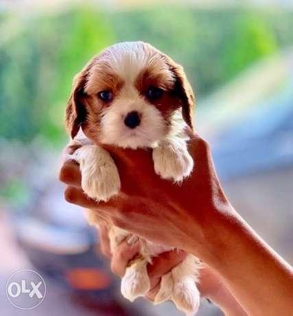 Imported King charles cavalier