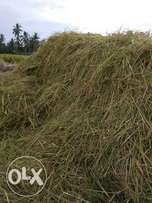 Green rice hay