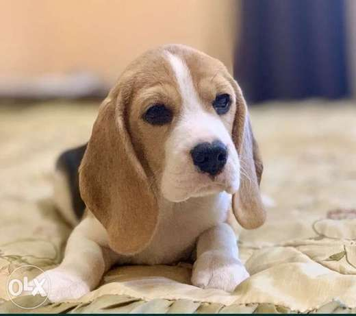 Beagle puppies imported from Ukraine