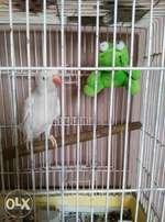 Beautiful lacewing ringneck for sale