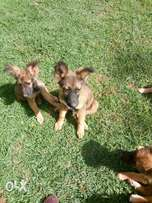 Long coat G.S puppies