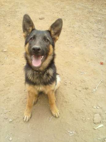 Jambo Kennels And Training services. Ruai - image 2
