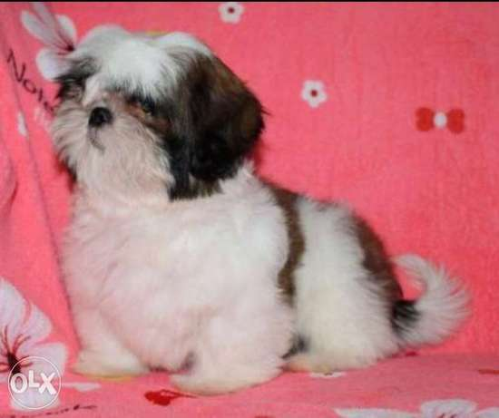 Best imported shih tzu puppies with all documents