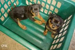 Rot puppies for sale