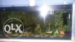 1.5 mtr fishtank with stand with 2big sharks