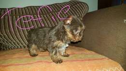 Miniature pure bred chocklate Yorkshire terrier