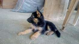 Alsatian/Gsd puppy in Lagos