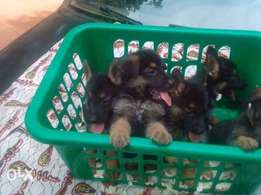 75% Gsd puppies on sale