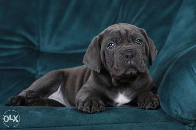 Imported blue cane corso puppies, males and females