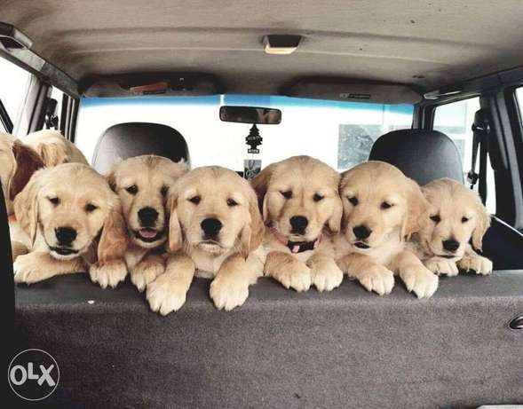 Golden Retriever Puppies Imported From Europe
