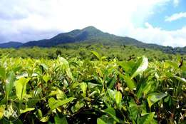 50acres in githunguri kambaa 4m p.a with tea farm