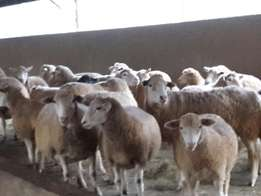 Dormer Stud Sheep For Sale