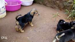 Rottweiler,gsd,glen of imaal/norfolk terrier puppies