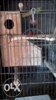 parrot larger cage for sale R600