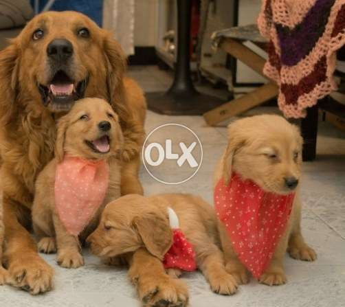 Golden Retriever puppies pure extra long hair 57 Day's