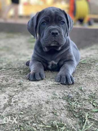 Now You Can Get Cane corso puppy From Best kennel in Ukrainian
