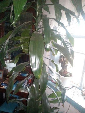 Кімнатні квіти.  400 грн. - Комнатные растения Лубны на Olx 19287cb20cf9d