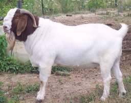 1000, healthy ewes boer goats for sale