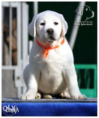 Imported Labrador puppies.. Males and females