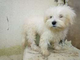 Lhasa apso white male puppy