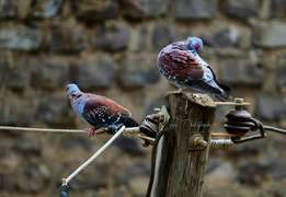 African royal pink eye dove's