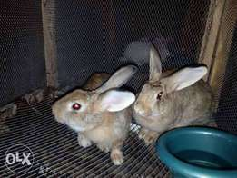 New Zealand rabbits for sale