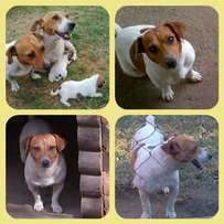 Pair Jack russells forsale