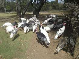 Mature laying turkeys for sale