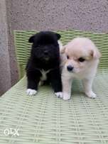 White and black Samoyed puppies for sale in ibadan