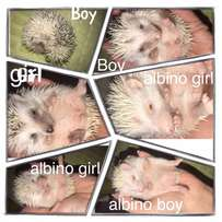 hedgies for sale