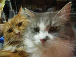 Beautifull Easther Maine Coon Cat for Sale .