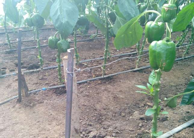 Tropicalized Greenhouse. Drip Irrigation. Button Irrigation. Nairobi CBD - image 5