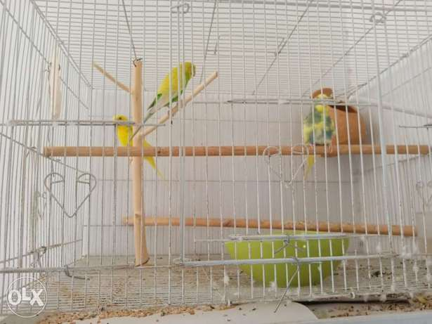 Love birds three and home