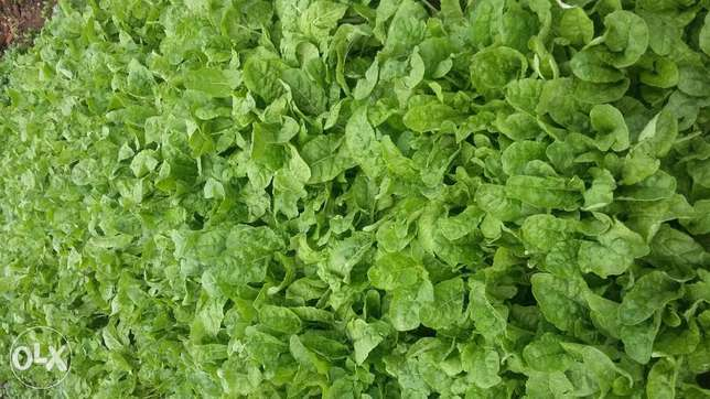 Spinach seedlings on sale Kikuyu T-Ship - image 1