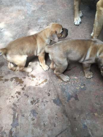 Bull dog puppies Runda - image 7