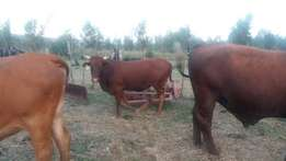 16 inguni cows,2 bonsmara, and 4 vriese for sale 23K FOR ALL
