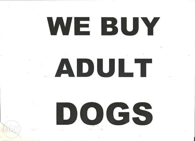 Adult Dogs , GSD, Ridgeback,Boerbel, labrador or Cross breeds wanted. Ikeja Government Reserved Area - image 2