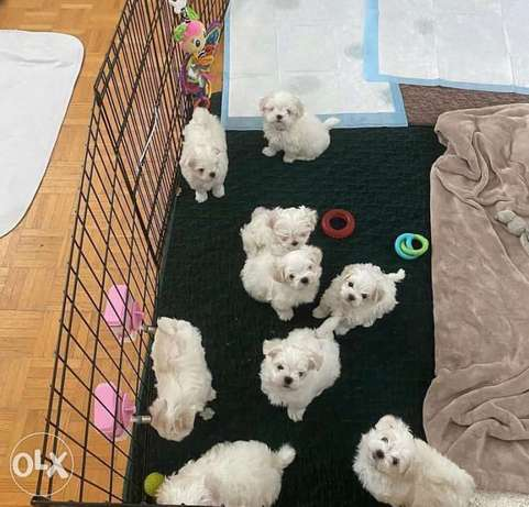 Both male and female pure Maltese pups