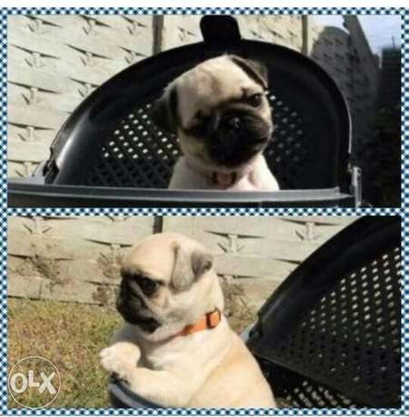 Mini pug puppies, imported, top quality with Pedigree