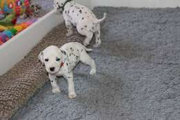Perfect pure breed Dalmatian puppies for sale