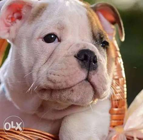 Imported English bulldog Top Quality Best price Full documents