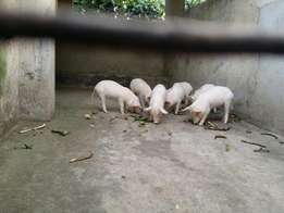 Piglets on sale