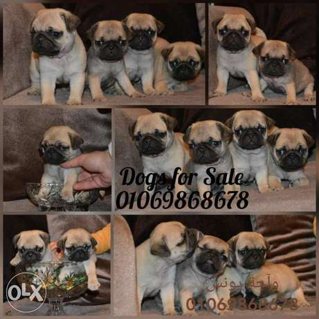Mini pug puppies 55 days Important parents available male and female