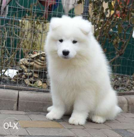 Imported Samoyed Puppy Male From Ukrane Fci Puppy card