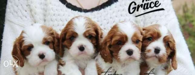 Imported cavalier King Charles with Pedigree