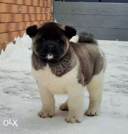 Expensive TOP Quality Imported American Akita puppies Champoin Line