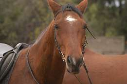 SA Warmblood gelding