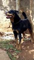 Rottweiler Female Adult. Give Away Price!